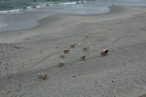 Jauría ingresando a zona protegida para el gaviotín chico.
